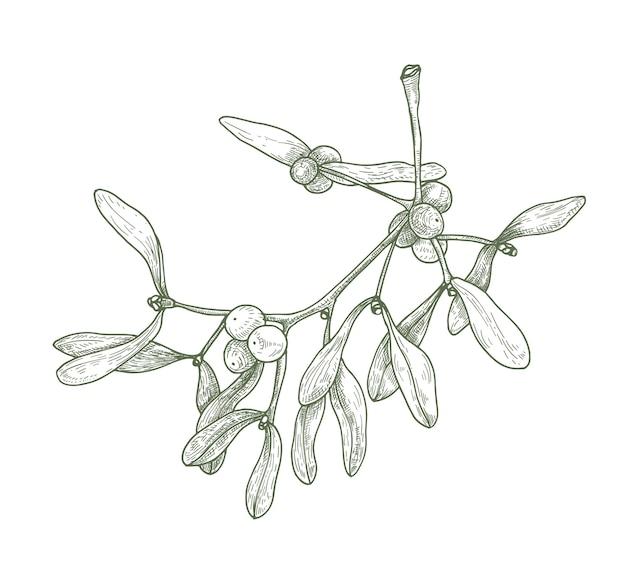 Ручной обращается подробный рисунок веточки омелы с ягодами и листьями