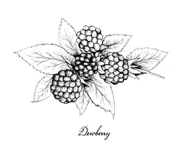 Hand drawn of dewberries on white background
