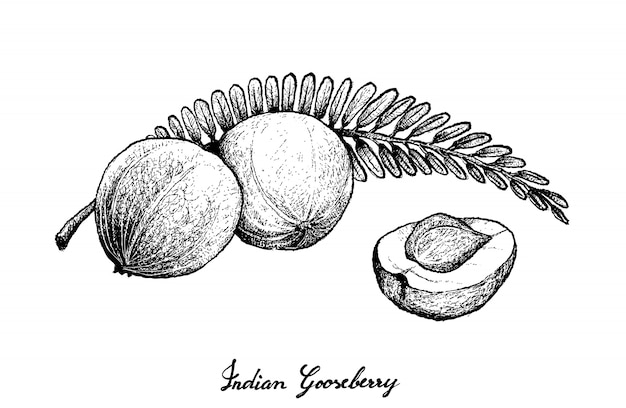 Hand drawn of dian gooseberry