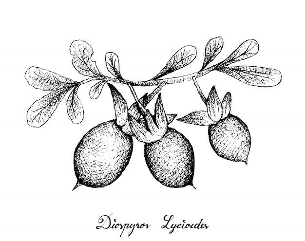 Hand drawn of diospyros lycioides on white background