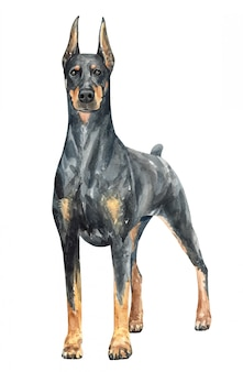 Hand drawn doberman watercolor dog.