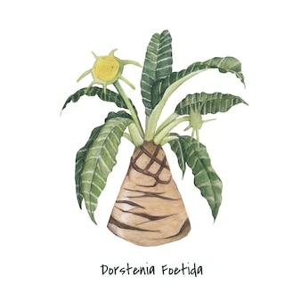 Hand drawn dorstenia foetida plant