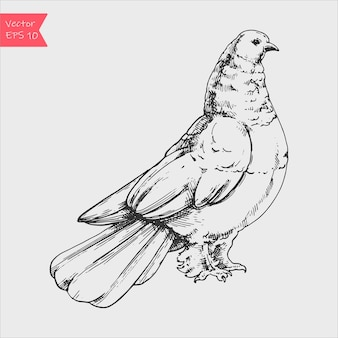 白で隔離の手描きの鳩