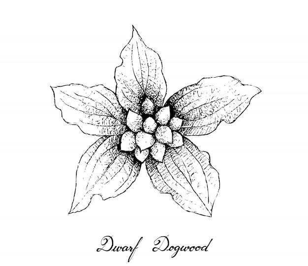 Hand drawn of dwarf dogwood fruits on white background