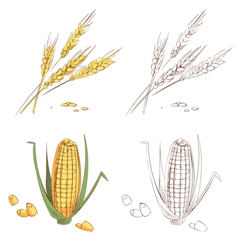 Hand drawn ears of wheat and corn isolated