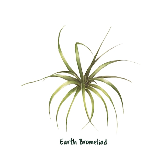 Hand drawn earth bromelioma puya berteroana