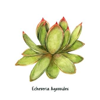 Hand drawn echeveria agavoides lipstick succulent