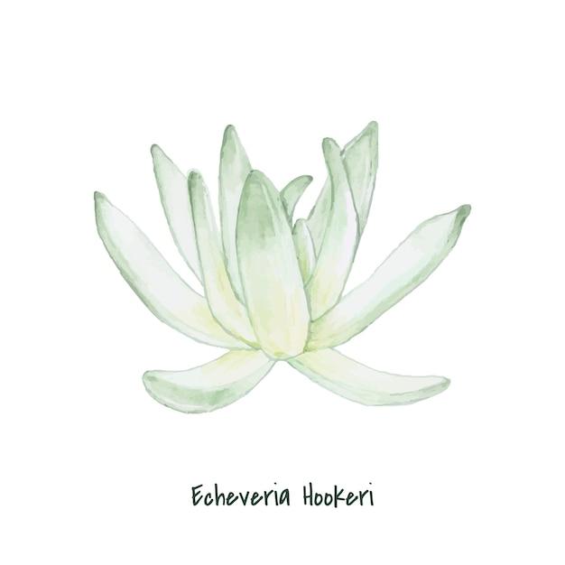 Hand drawn echeveria hookeri succulent