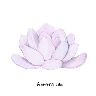 Hand drawn echeveria laui succulent