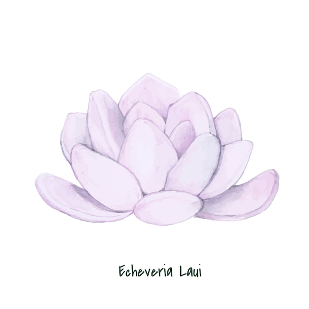 Hand drawn echeveria laui succulent