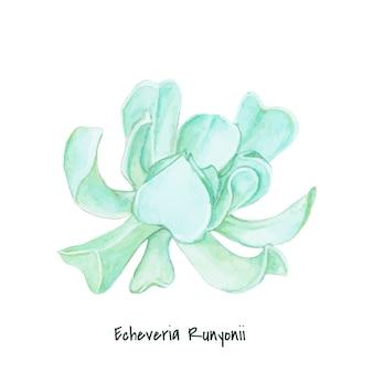 Hand drawn echeveria runyonii succulent