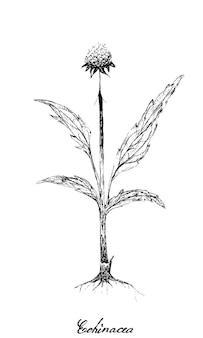 Hand drawn of echinacea or coneflowers plant