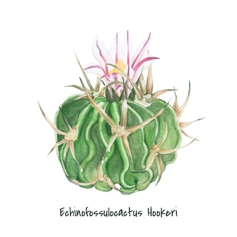 Hand drawn echinofossulocactus hookeri cactus