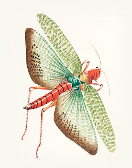 Hand drawn of egyptian locust