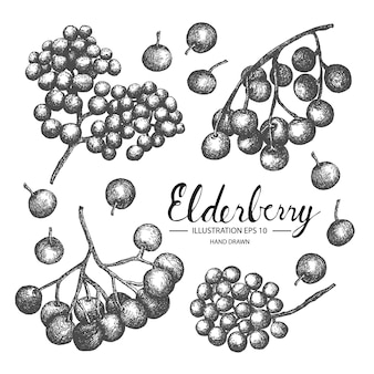 Hand drawn elderberry collection