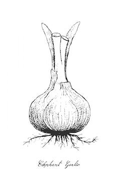 Hand drawn of elephant garlic on white background