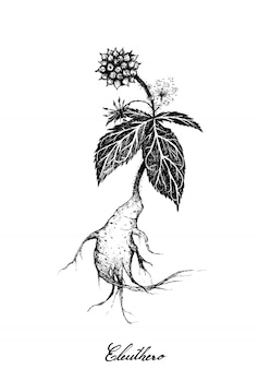 Hand drawn of eleuthero or siberian ginseng