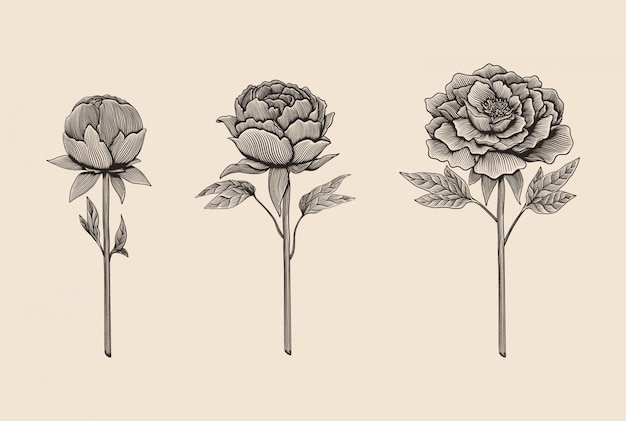 Hand drawn engraving style peony illustration set