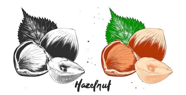 Hand drawn etching sketch of hazelnuts