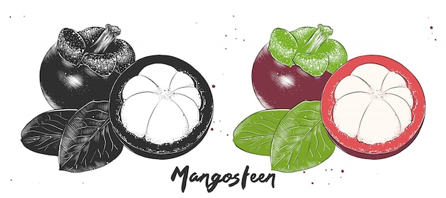 Hand drawn etching sketch of mangosteen