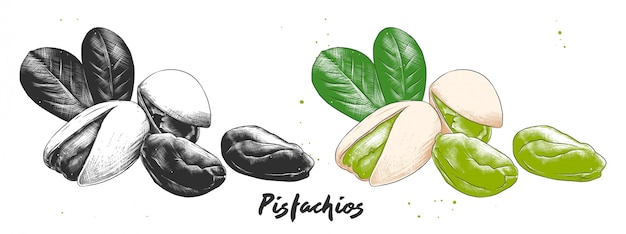 Hand drawn etching sketch of pistachios nuts .