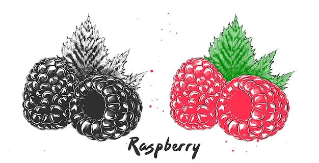 Hand drawn etching sketch of raspberry