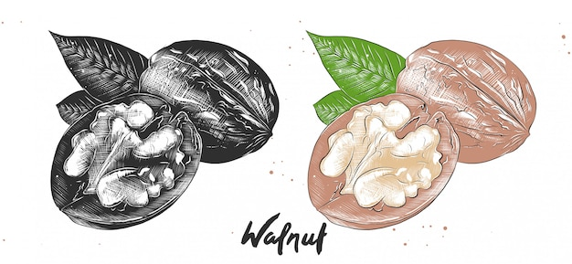 Hand drawn etching sketch of walnuts
