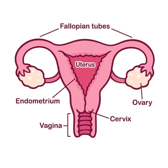 Hand drawn female reproductory system anatomy chart. uterus and cervix, ovaries and fallopian tubes in simple cartoon style.
