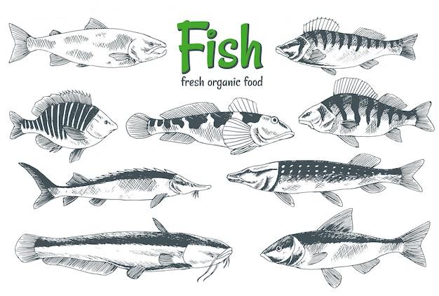 손으로 그린 물고기. 생선 및 해산물 제품 매장 포스터. 식당 생선 메뉴 또는 낚시 클럽 배너로 사용할 수 있습니다. 송어, 잉어, 참치, 청어, under 치, 멸치 스케치