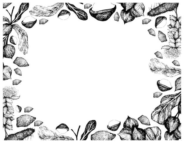 Hand drawn frame of macadamia nuts with golden root