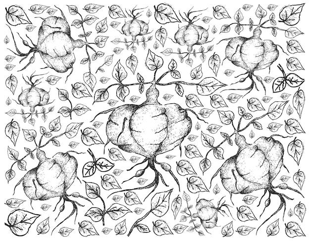 Hand drawn of fresh ahipa on white background