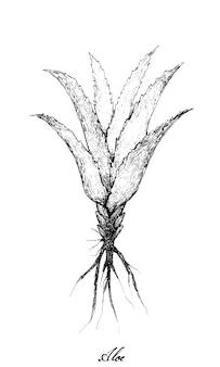 Hand drawn of fresh aloe vera plants