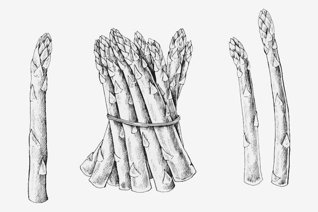Hand drawn fresh asparagus