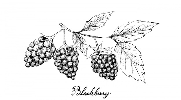 Hand drawn of fresh blackberries on white background