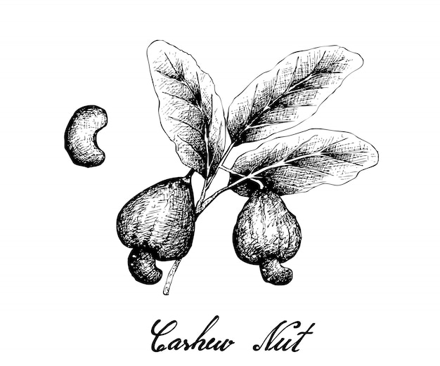 Hand drawn of fresh cashew nut on a plant