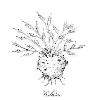 Hand drawn of fresh celeriac root with leaves