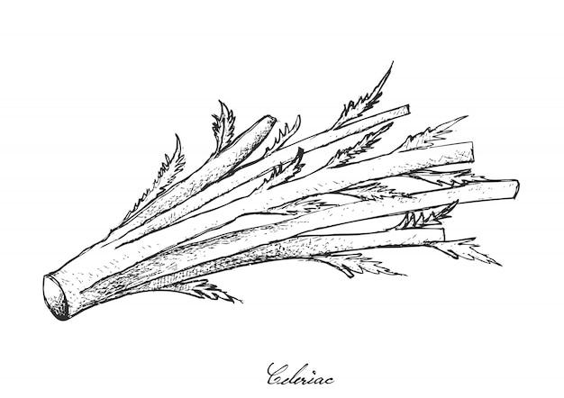 Hand drawn of fresh celeriac on white background