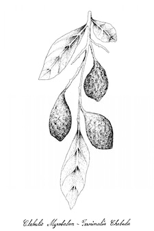 Hand drawn of fresh chebulic myrobalans on a branch