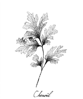 Hand drawn of fresh chervil plant on white