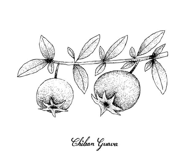 Hand drawn of fresh chilean guava fruits