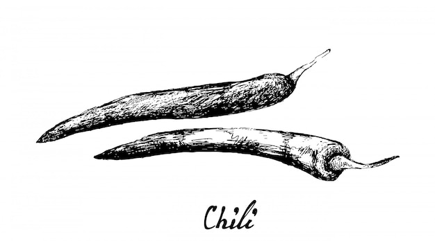 Hand drawn of fresh chili peppers on white