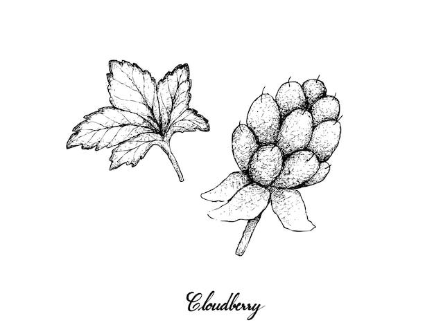 Hand drawn of fresh cloudberry