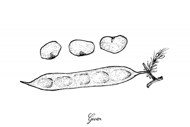 Hand drawn of fresh cluster bean or guar