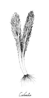 Hand drawn of fresh culantro plant on white