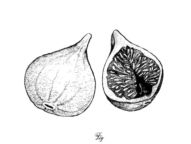 Hand drawn of fresh figs