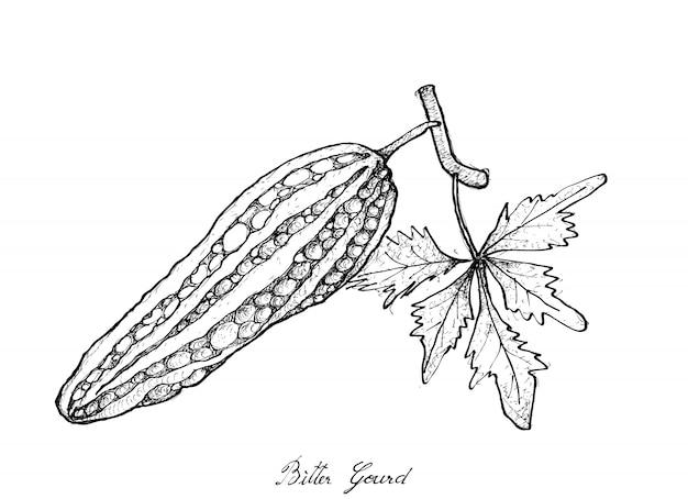 Hand drawn of fresh green bitter gourd