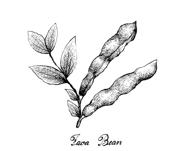 Hand drawn of fresh green fava bean