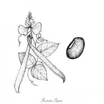 Hand drawn of fresh green runner bean plant