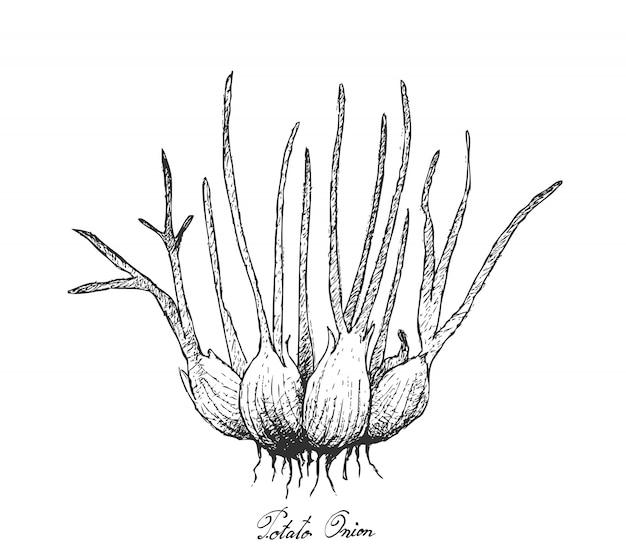Hand drawn of fresh potato onion on white background