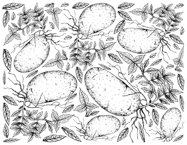 Hand drawn of fresh potatoes on a white background